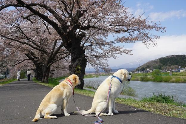 写真: 名残桜