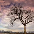 写真: 雪山下的大樹