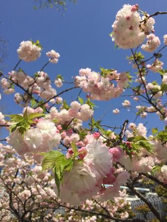 近所の八重桜02