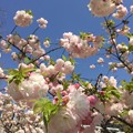 写真: 近所の八重桜02