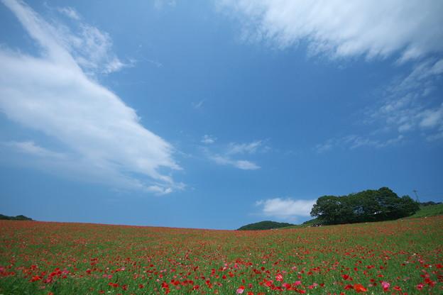 天空を彩るポピー畑