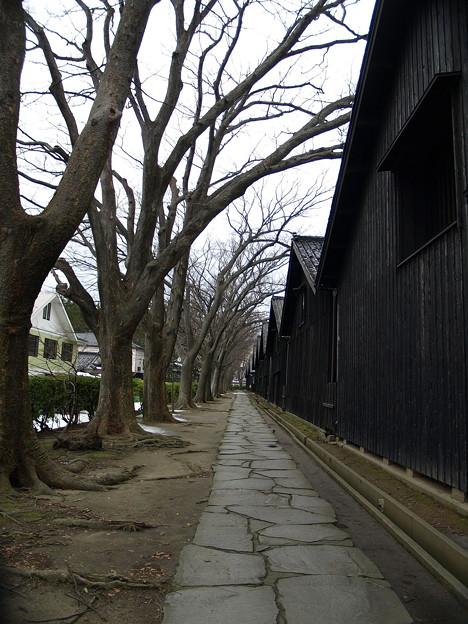 写真: 山居倉庫のけやき並木