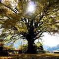 Photos: 大イチョウの木