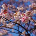 写真: 初春之櫻