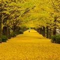 Photos: 昭和紀念公園銀杏大道