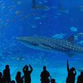 写真: 美麗海水族館 in Okinawa