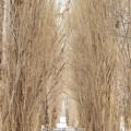 写真: 北海道大 ポプラ並木