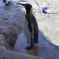 写真: ジェンツーペンギン