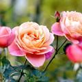 Photos: 薔薇~ディズニーランド ローズ#2