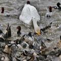 Photos: 白鳥と鴨