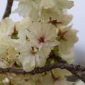 DSC_4481 サトザクラ(鬱金桜)