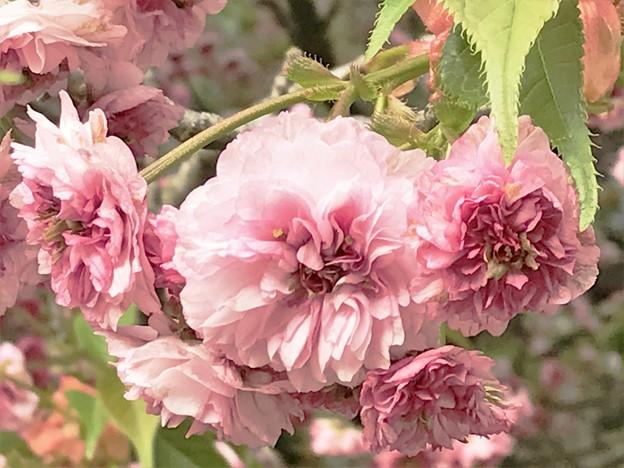 IMG_3822 尾山神社 菊桜