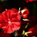 DSC_0755 赤いナデシコ