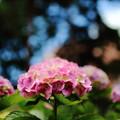 IMG_6596 紫陽花
