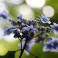 IMG_6610 紫陽花