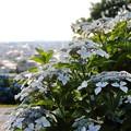 IMG_7598 大乗寺丘陵公園の紫陽花