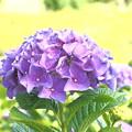 IMG_7527 紫陽花
