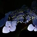 IMG_7842 紫陽花