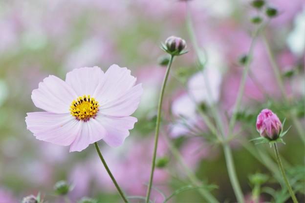 秋桜 IMG_6785