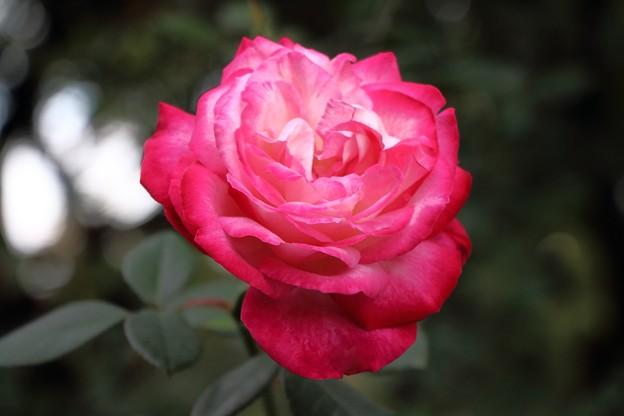 赤い薔薇 IMG_6865