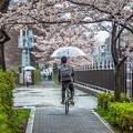 写真: 雨中之櫻