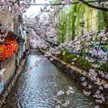 Photos: 河堤之櫻