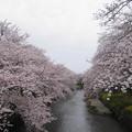 写真: 五条川の桜