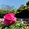Photos: 秘密の薔薇園