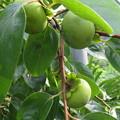写真: 青い柿