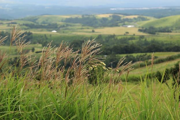 写真: 久住高原のススキ