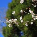 写真: 冬桜2