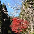 写真: 冬桜と紅葉