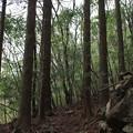 写真: 杉木立1