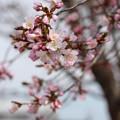 桜咲く^^