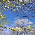 白い花から見える桜