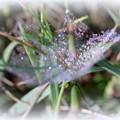 写真: 雨上がりのクモの巣