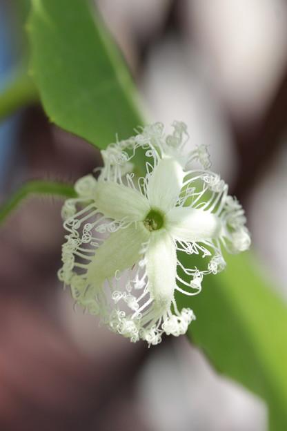 写真: 瓜の花
