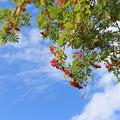 写真: 青空と赤い実