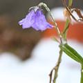 写真: 凍る花