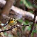 写真: 羽ばたくルリビタキ
