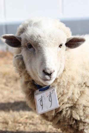 羊のすずちゃん(14/12/23・浦和競馬場)