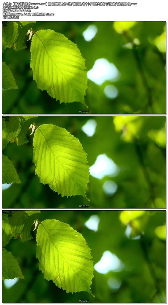 阳光照耀绿色树叶微风摇摇欲动树叶纹理透光清晰可见植物高清视频实拍