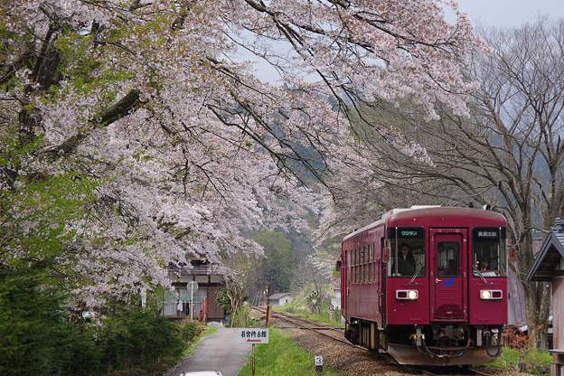 Photos: s0499_長良川鉄道さくら_t