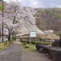 s0503_九頭竜ダムの桜