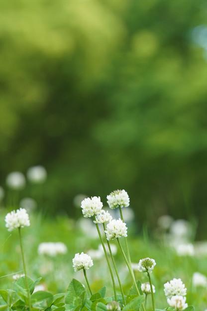 新緑と白詰草