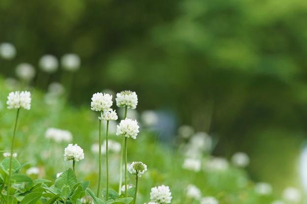 白詰草の花が咲いたら