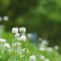 写真: 白詰草の花が咲いたら