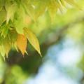 Photos: 黄色の葉っぱ