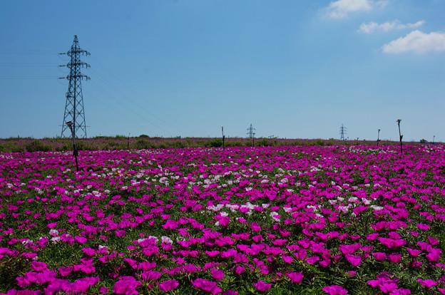マツバボタン畑