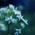 写真: 星型の花